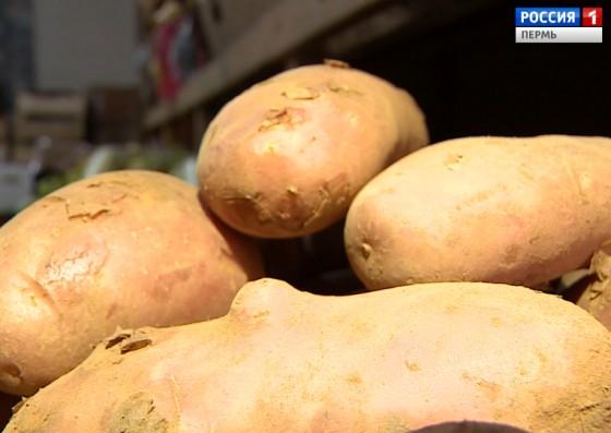Автопробег «Пермская картошка: накормившая фронт и тыл» стартует сегодня из Перми