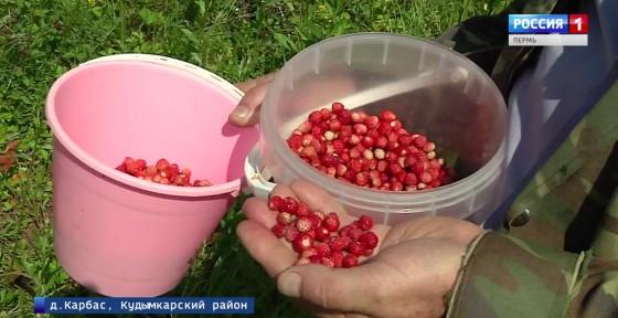 Земляника или рыжики: что собирать в коми-пермяцких лесах?