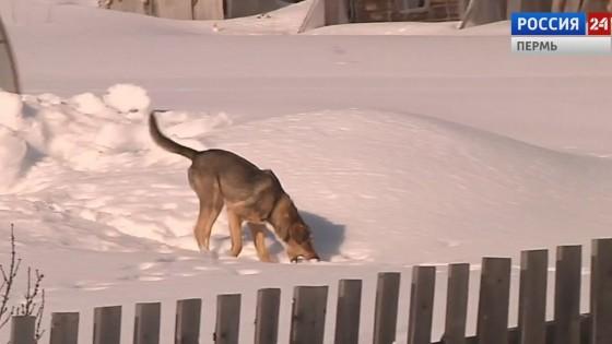 Коми-пермяков держат в страхе стаи собак