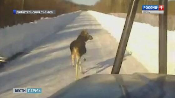 На дороге Кудымкар-Эрна в снежную ловушку попал лось