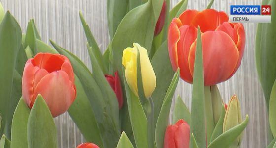 Тюльпаны для ветеранов