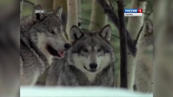 Волки держат в осаде деревни Отопково и Пелым