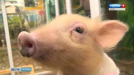 Пермский зоопарк лучше всех подготовился к году Свиньи