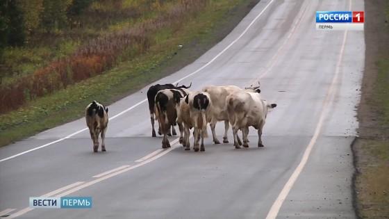 Владельцы погибших в аварии коров выплатят штрафы