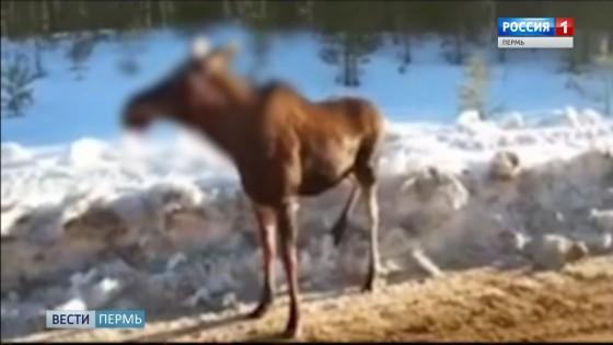 Коми-Пермяцкий округ приобретает репутацию территории дикой охоты
