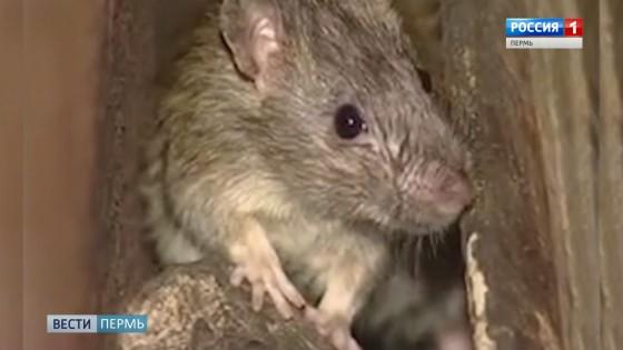 В Перми начали массово травить крыс