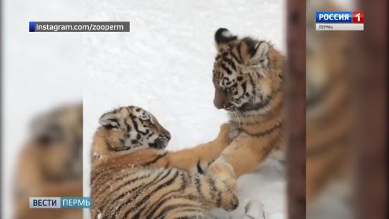 Пермский зоопарк приглашает покормить тигрят