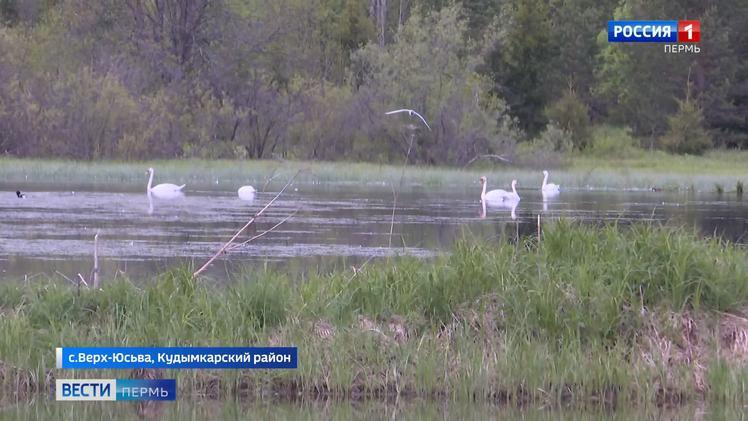 Север Прикамья стал центром миграции лебедей