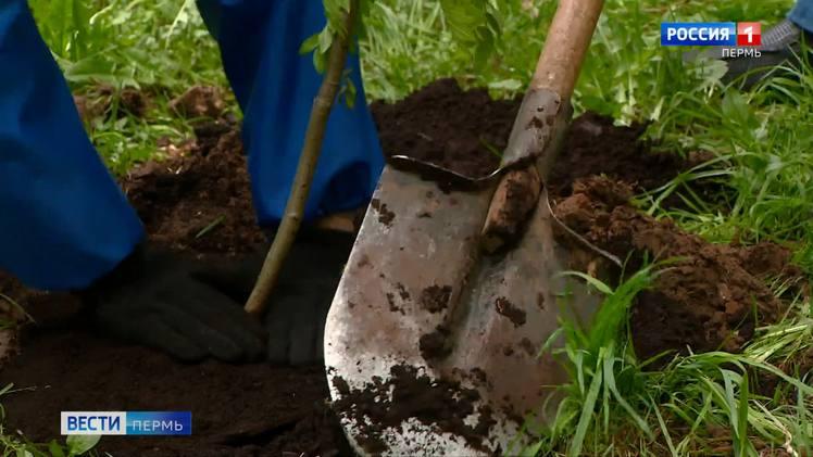 В Перми высадят около 14 тысяч деревьев и кустарников