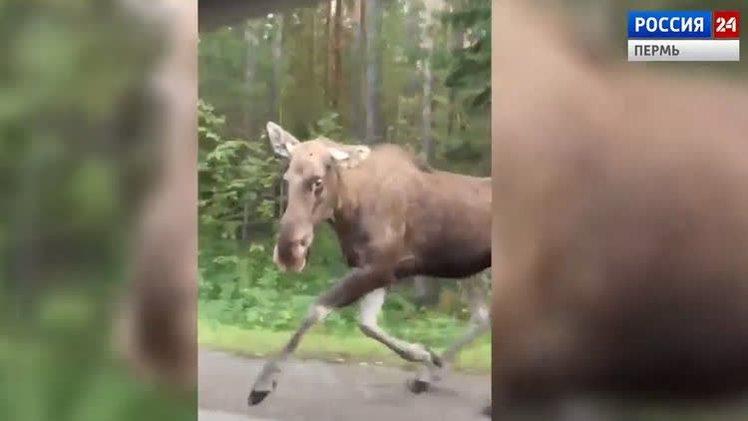 На трассе Пермь-Березники водитель сбил лося