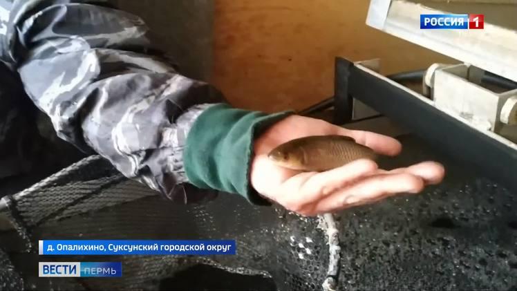 В Суксунский пруд выпустили мальков белого амура