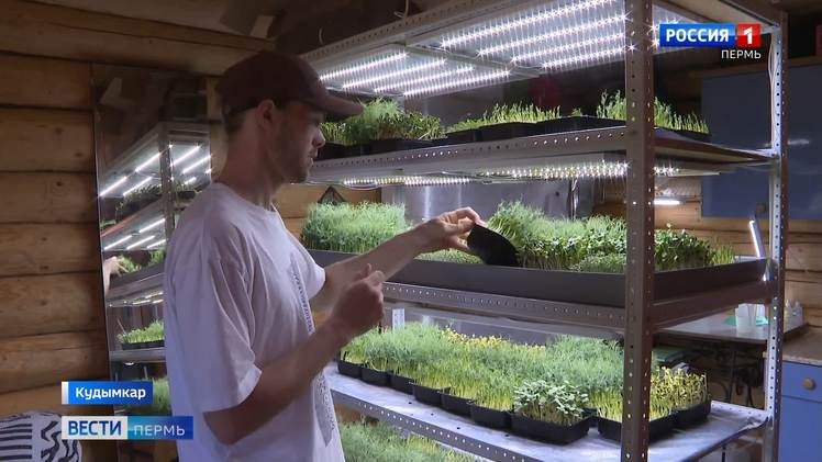 Кудымкарский сити-фермер выращивает микрозелень