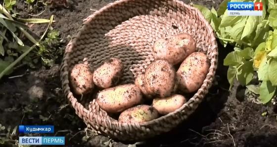 Первый урожай картофеля продемонстрировали в Кудымкаре